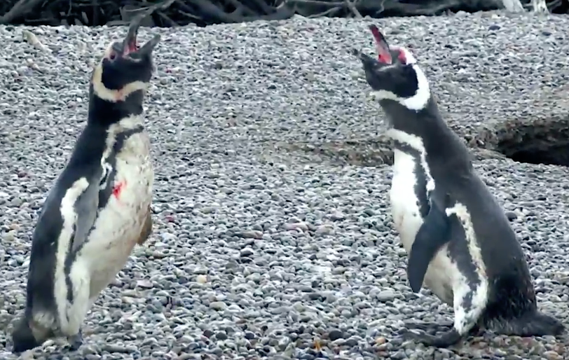 nat-geo-penguin-fight