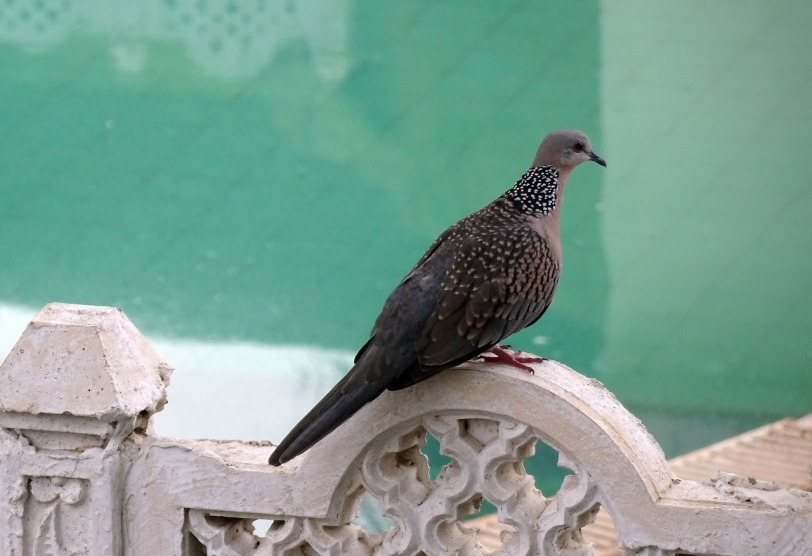spotted-dove-2758938_1280.jpg